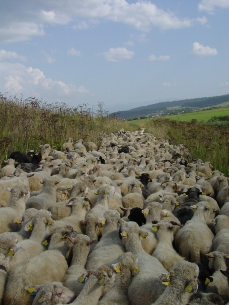 52-in-sk-moving-the-sheep-768x1024